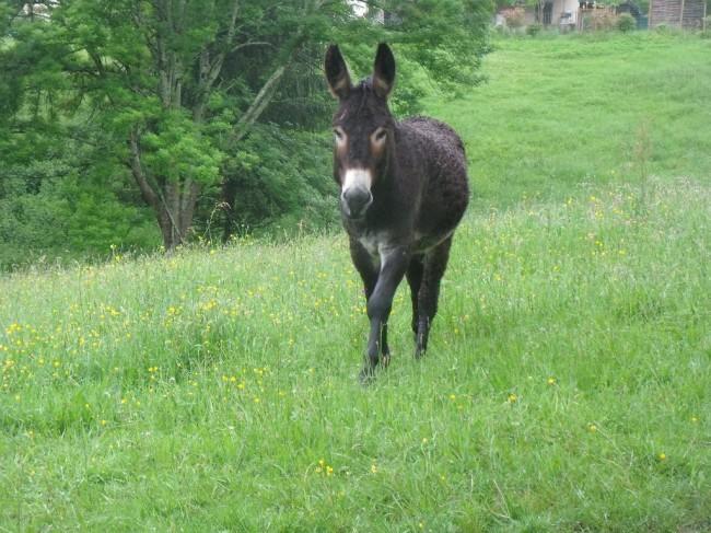 Arthur notre âne des Pyrénées est déjà en vacances à la ferme. Shogaï, sa petite fiancée, vient de le rejoindre.